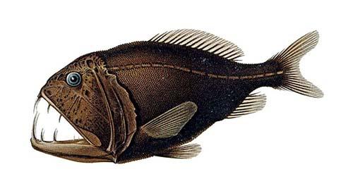 Fangtooth (Anoplogaster cornuta)