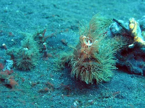 Striped Anglerfish | Antennarius striatus photo