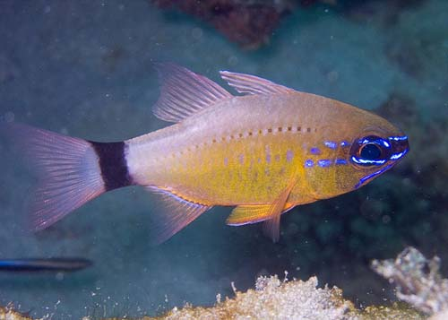 Ring-tail Cardinalfish | Apogon aureus photo