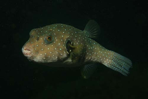 Stars and Stripes Toadfish | Arothron hispidus photo