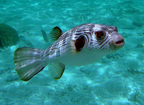 Narrow-lined Pufferfish | Arothron manilensis photo