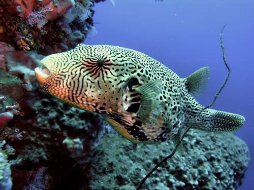 Map Pufferfish | Arothron mappa photo
