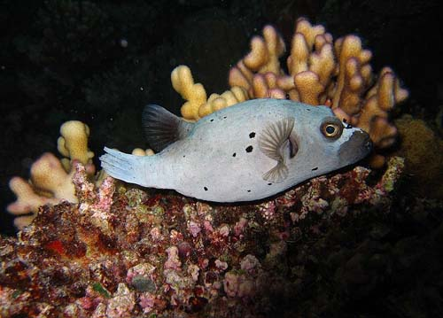 Blackspotted Pufferfish | Arothron nigropunctatus photo