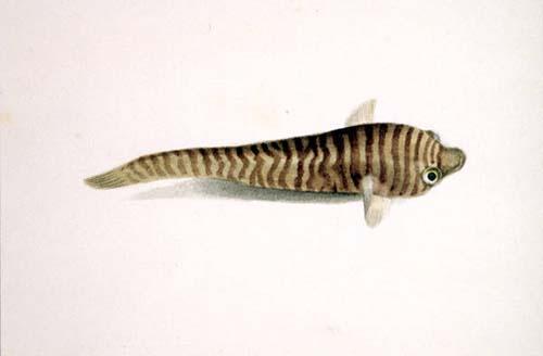 Tasmanian Clingfish | Aspasmogaster tasmaniensis photo