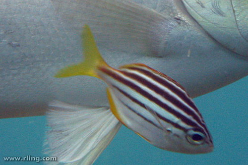 Australian Mado | Atypichthys strigatus photo