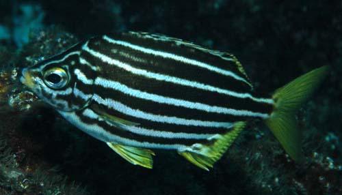 New Zealand Mado | Atypichthys latus photo