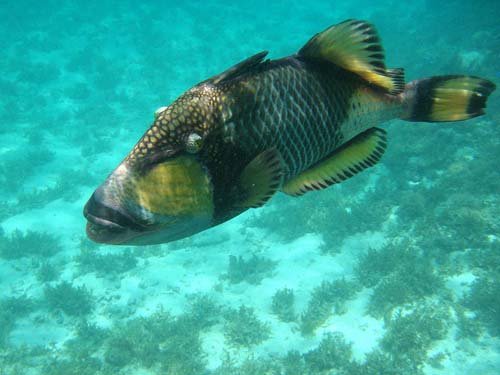 Titan Triggerfish | Balistoides viridescens photo
