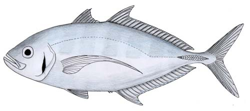 Barcheek Trevally | Carangoides plagiotaenia photo