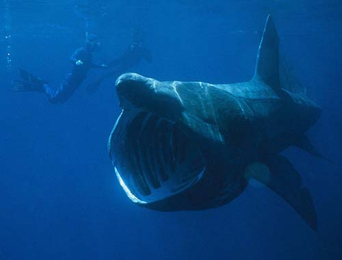 Basking Shark | Cetorhinus maximus photo