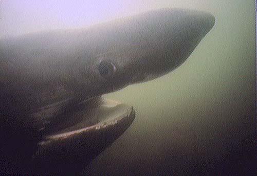 Basking Shark | Cetorhinus maximus photo