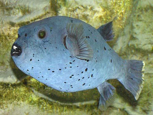 Blackspotted Pufferfish | Arothron nigropunctatus photo