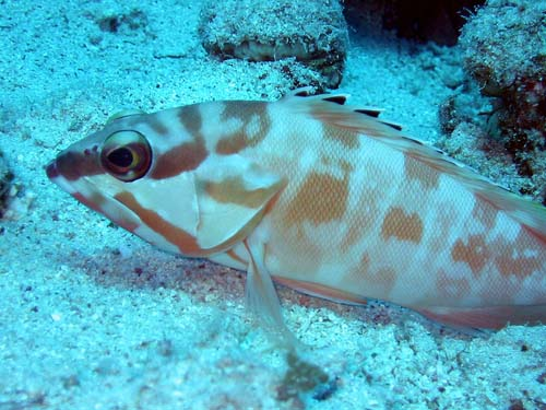 Blacktip Rockcod | Epinephelus fasciatus photo