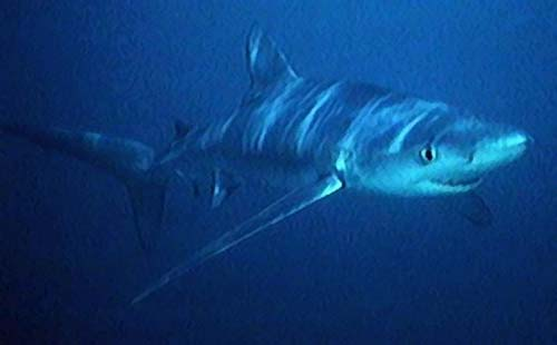 Blue Shark | Prionace glauca photo