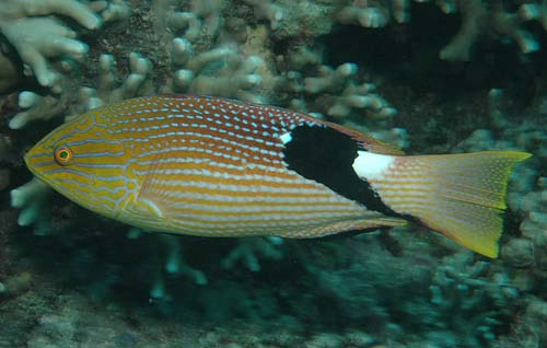 Blackfin Hogfish | Bodianus loxozonus photo
