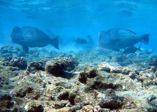 Double-headed Parrotfish | Bolbometopon muricatum photo