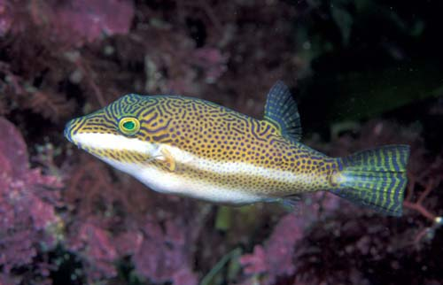 Clown Toby | Canthigaster callisterna photo