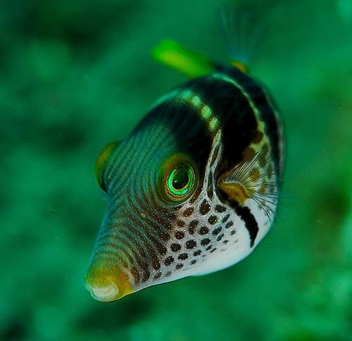 Saddled Puffer | Canthigaster valentini photo