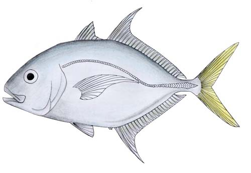 Longnose Trevally | Carangoides chrysophrys photo