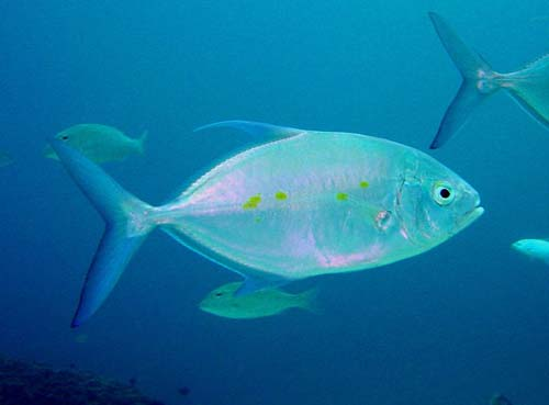 Thicklip Trevally | Carangoides orthogrammus photo