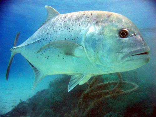 Giant Trevally | Caranx ignobilis photo