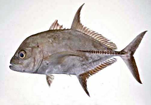 Black Trevally | Caranx lugubris photo