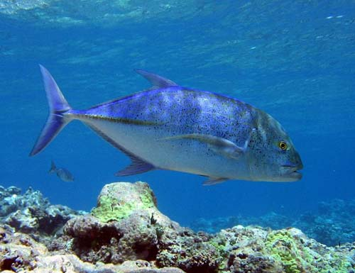 Bluefin Trevally | Caranx melampygus photo