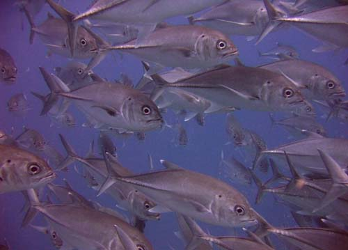 Bigeye Trevally | Caranx sexfasciatus photo