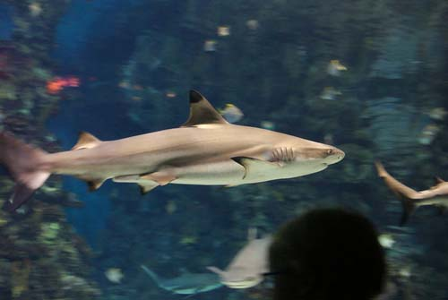 Blacktip Reef Shark | Carcharhinus melanopterus photo