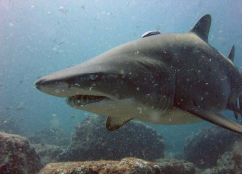 Grey Nurse Shark | Carcharias taurus photo