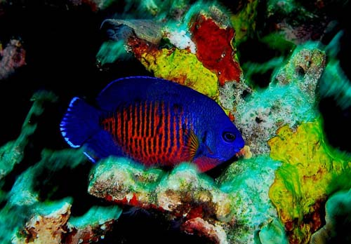 Two-spine Angelfish   Centropyge bispinosa photo