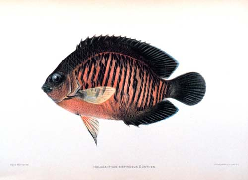 Two-spine Angelfish | Centropyge bispinosa photo