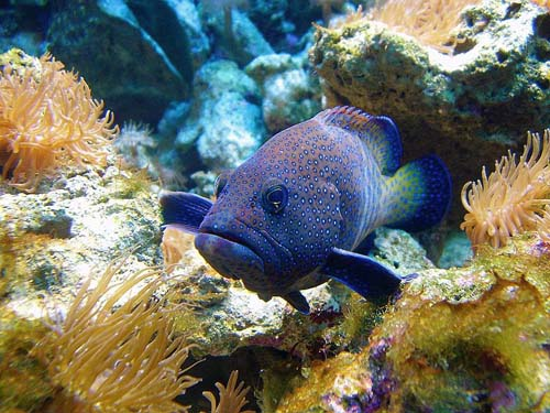 Peacock Rockcod | Cephalopholis argus photo