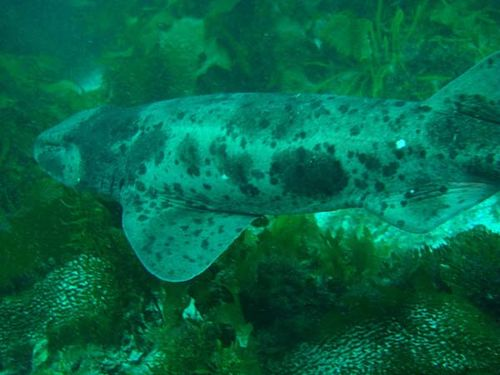 Draughtboard Shark | Cephaloscyllium laticeps photo