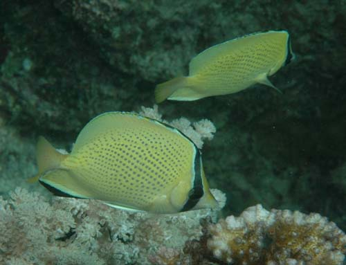 Speckled Butterflyfish | Chaetodon citrinellus photo
