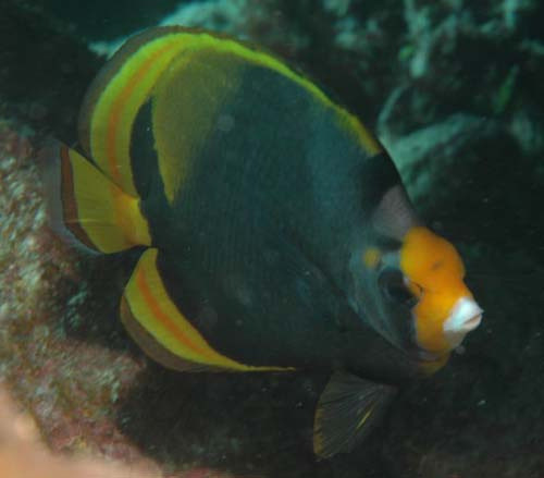 Dusky Butterflyfish | Chaetodon flavirostris photo