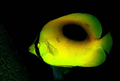 Oval-spot Butterflyfish | Chaetodon speculum photo