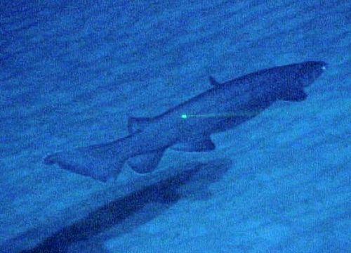 Frill Shark | Chlamydoselachus anguineus photo