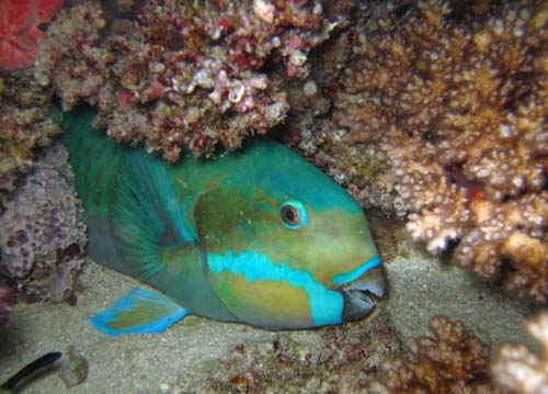 Steephead Parrotfish | Chlorurus microrhinos photo