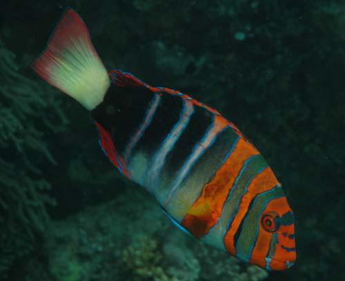 Harlequin Tuskfish | Choerodon fasciatus photo