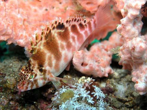 Blotched Hawkfish | Cirrhitichthys aprinus photo