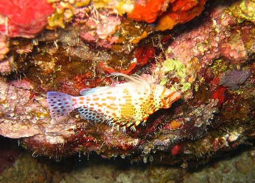 Dwarf Hawkfish | Cirrhitichthys falco photo