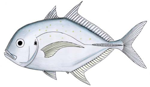 Onion Trevally | Carangoides caeruleopinnatus photo