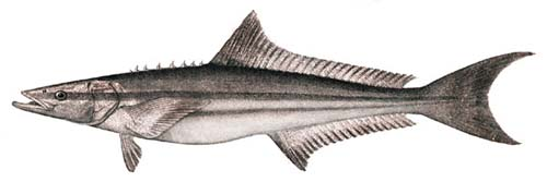 Cobia | Rachycentron canadum photo