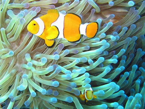 False-Clown Anemonefish | Amphiprion ocellaris photo