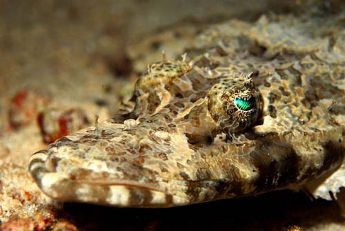Crocodilefish | Cymbacephalus beauforti photo