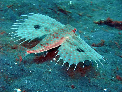 Flying Gurnard | Dactyloptena orientalis photo