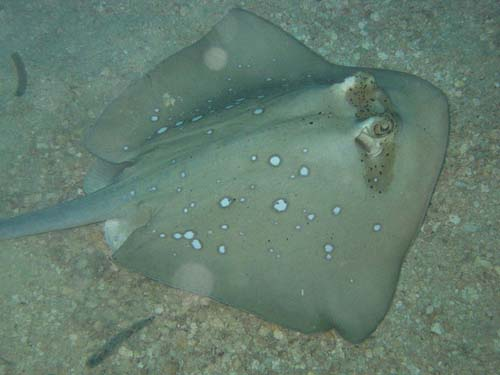 Blue-spotted Stingray | Dasyatis kuhlii photo