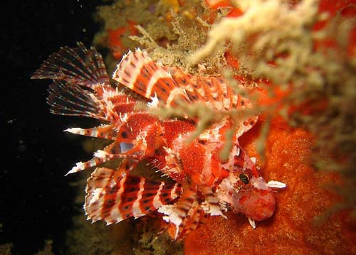 Dwarf Lionfish | Dendrochirus brachypterus photo