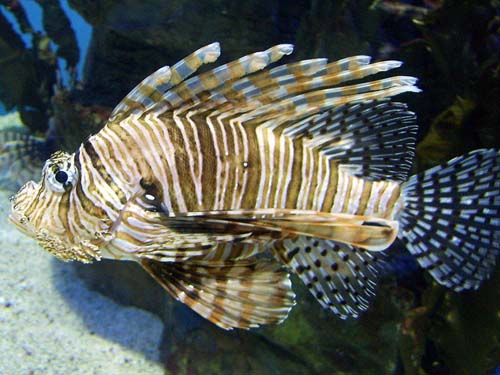 Zebra Lionfish | Dendrochirus zebra photo