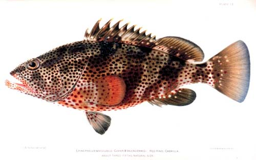 Trout Cod | Epinephelus maculatus photo